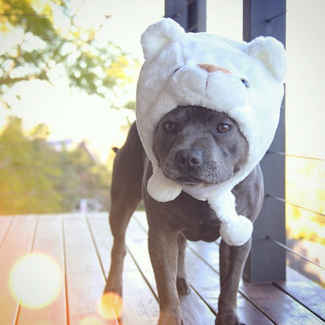 17 Reasons Why You Should Never Adopt A Pitbull