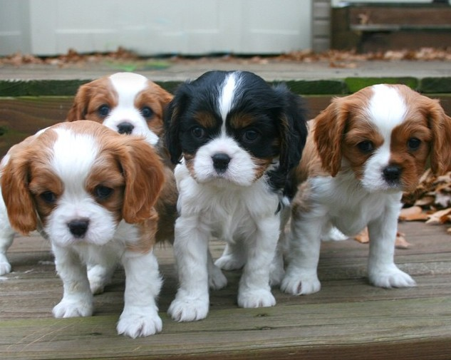 19 reasons you should never adopt a cavalier king charles a mob of cavalier king charles puppies run for your life altavistaventures Images