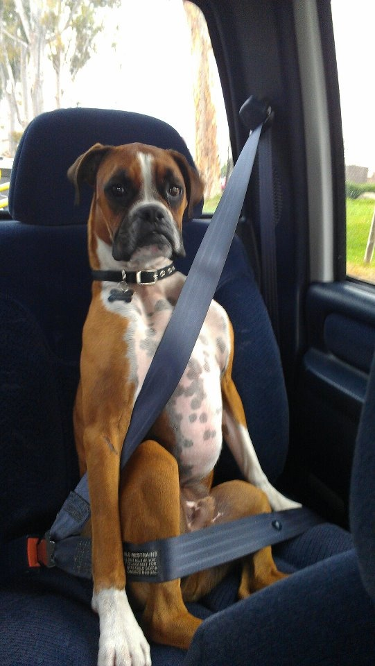21 Reasons Why Boxers Are Most Hilarious Pets