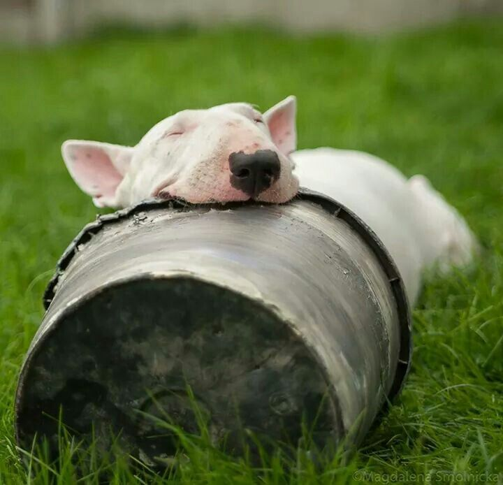 Bull Terriers Most Fantastic And Awkward Sleeping Positions