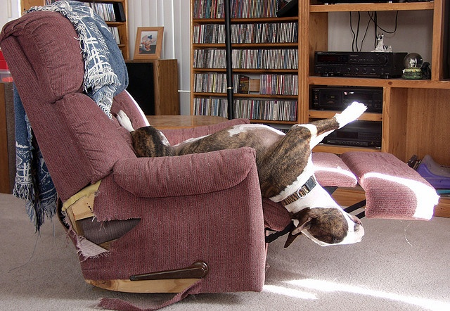 Bull-Terrier-sleeping-7 & Bull Terriersu0027 Most Fantastic And Awkward Sleeping Positions islam-shia.org