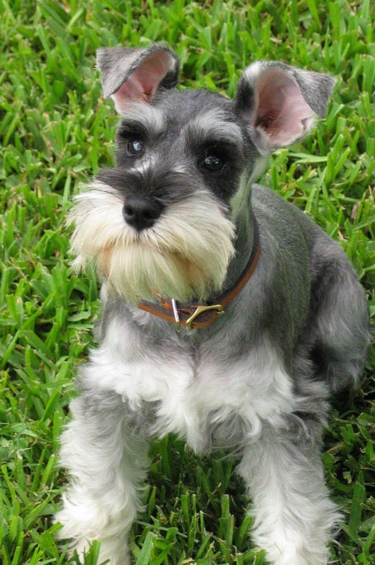 The Cairn Terrier!  The Dog Guide