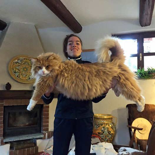 the ashera cat largest domestic and