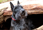 Scottish terrier : un chien extraordinaire