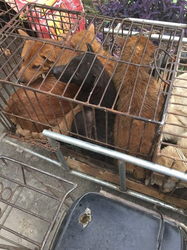 yulin-festival-dog-meat-37