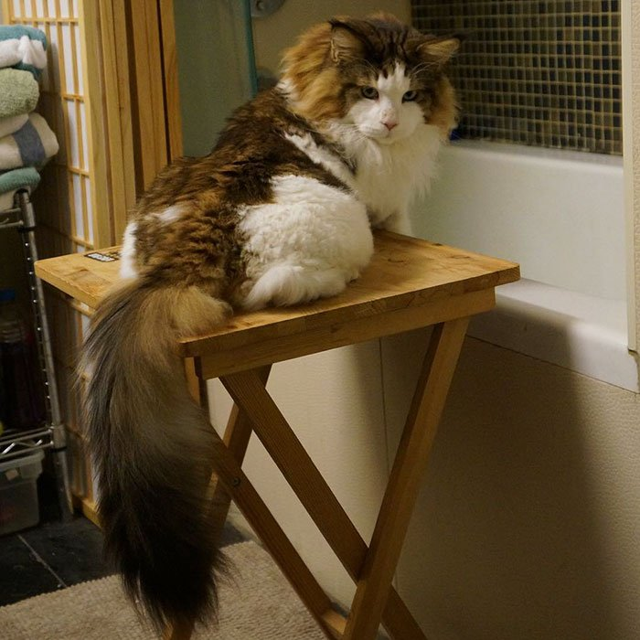 9 Incredible Photos Of Samson The Largest Cat In New York