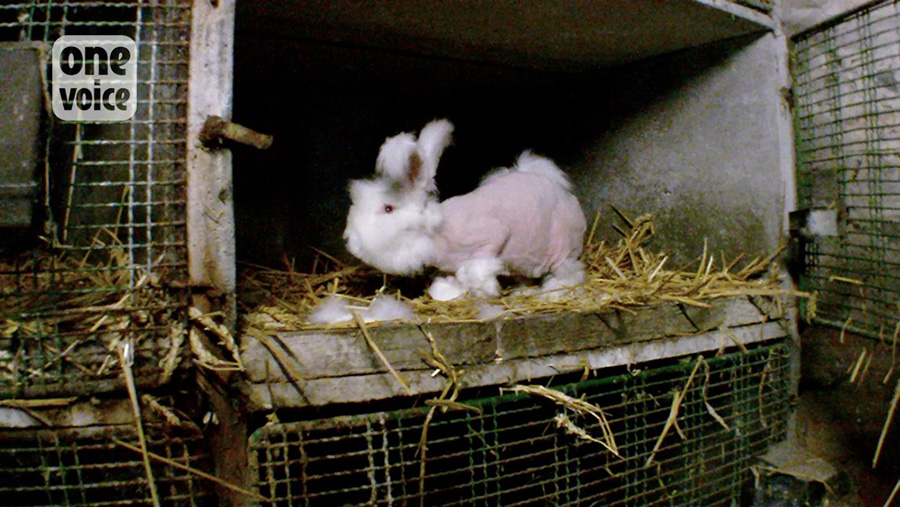 lapin-angora-once-voice-6