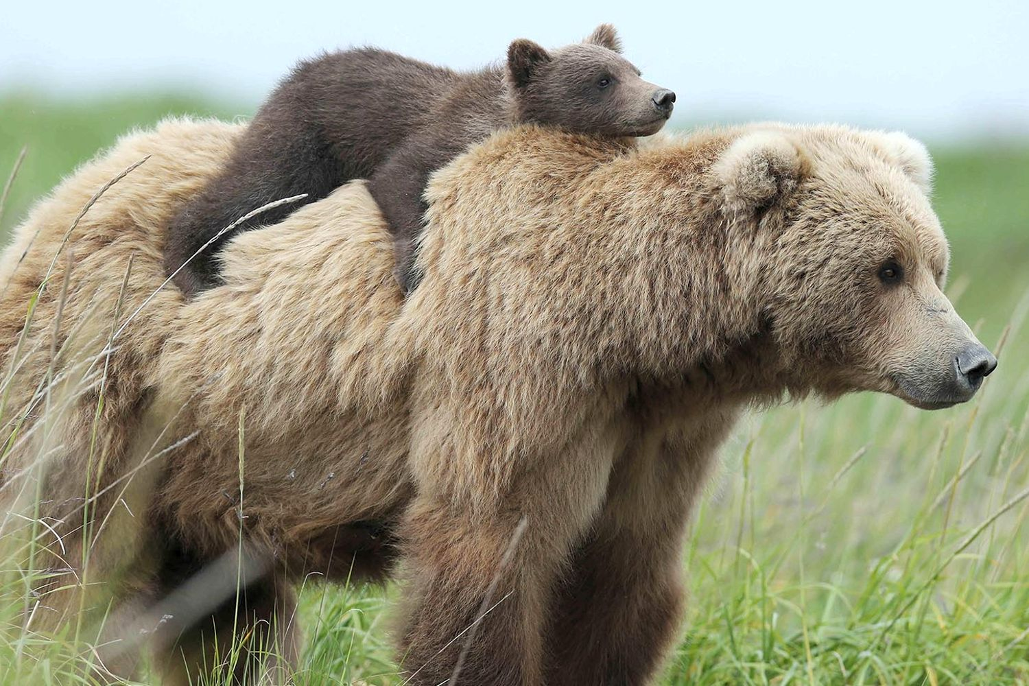 maman-ours-12