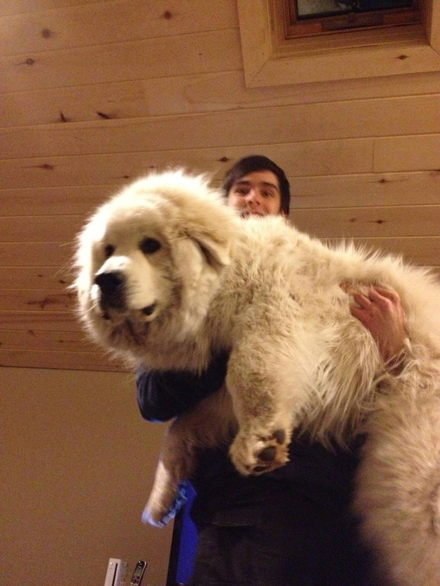 8 Photos Of Giant Dogs Who Love Being Held Like Puppies
