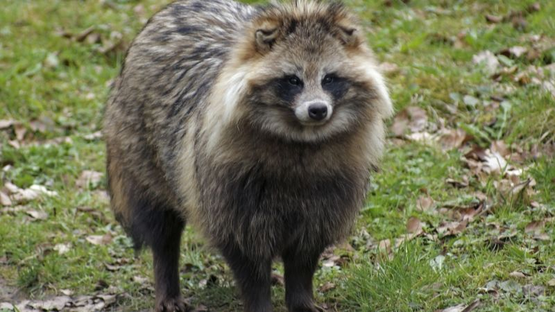 """raccoon chat sites Lame pun raccoon, also known as """"pun coon"""" or """"bad joke raccoon"""", is an image macro series centered around a happy looking raccoon that utters various puns for the sake of witticism."""