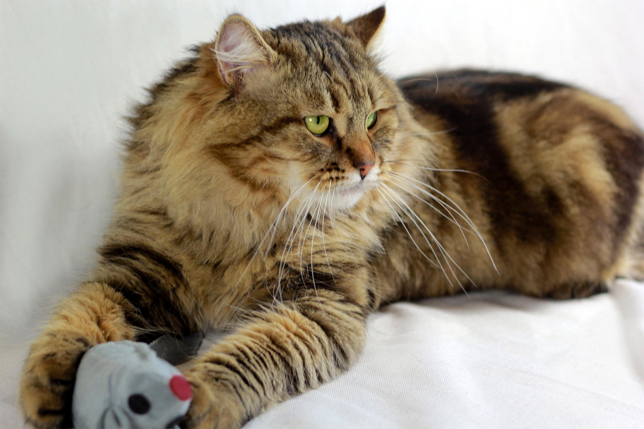 Golden Tabby Cats For Sale