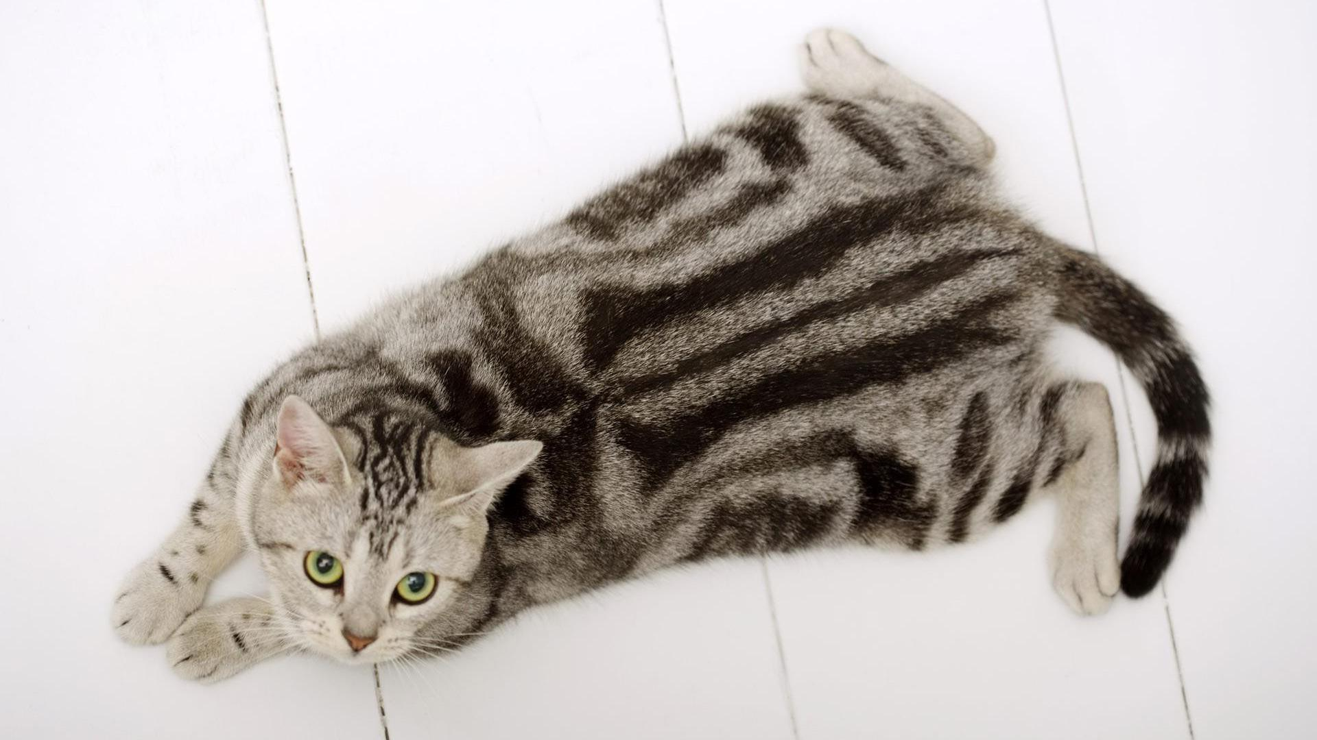 American Shorthair Cat Color Patterns