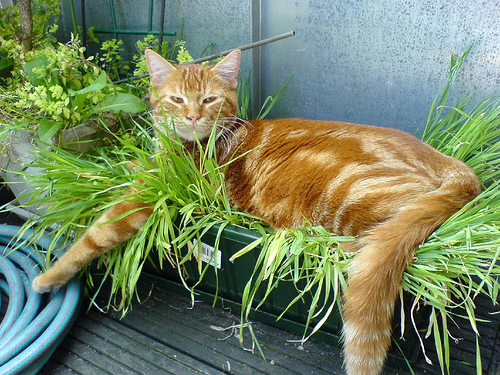 comment planter herbe a chat