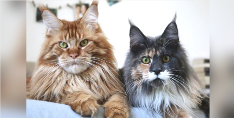 Maine Coon 17 Raisons De Ne Pas En Adopter Holidogtimes