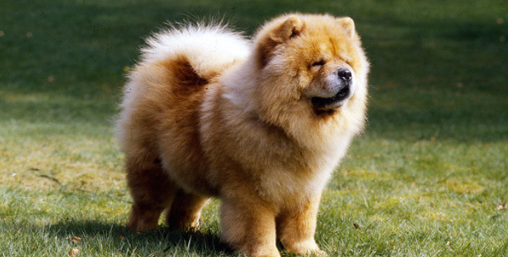 Chien Chow-Chow