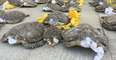 trafic-tortues-chine-FT