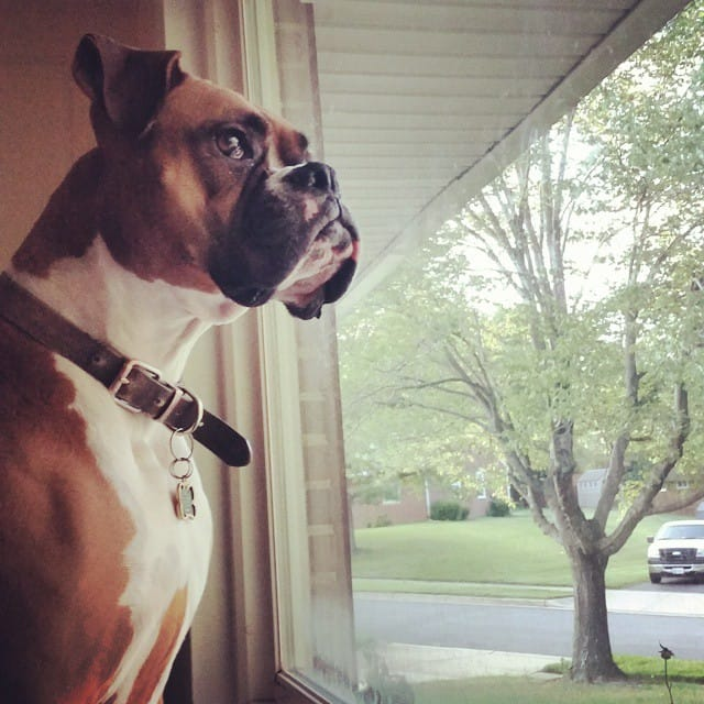 23 Reasons Why You Should Never Adopt A Boxer