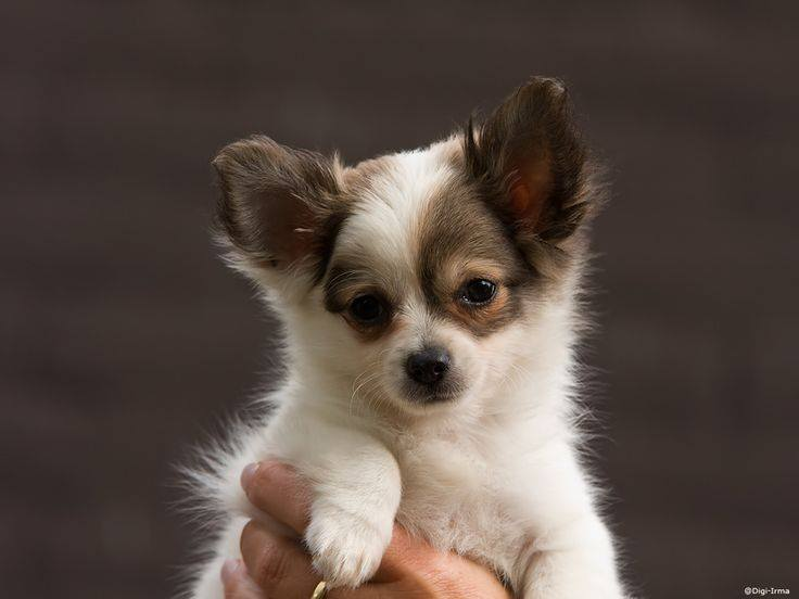 20 reasons why you should never adopt a chihuahua