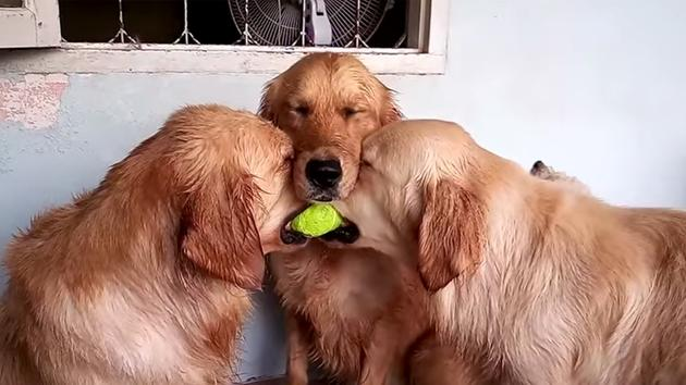 Reasons Why You Should Never Adopt A Golden Retriever - 25 photos that prove golden retrievers are the cutest puppies