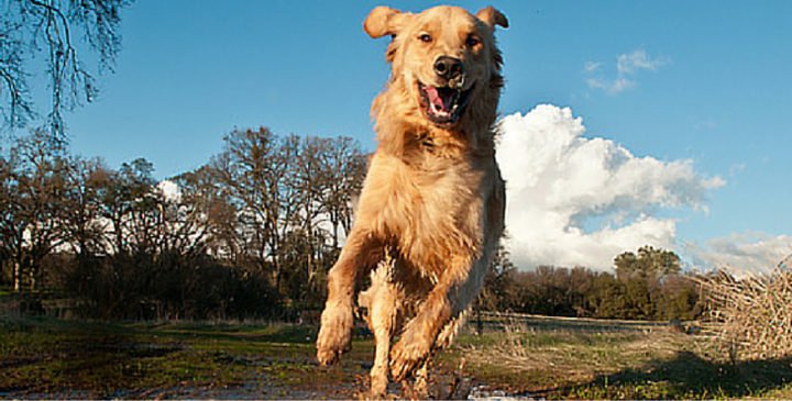 27 Reasons Why You Should Never Adopt A Golden Retriever