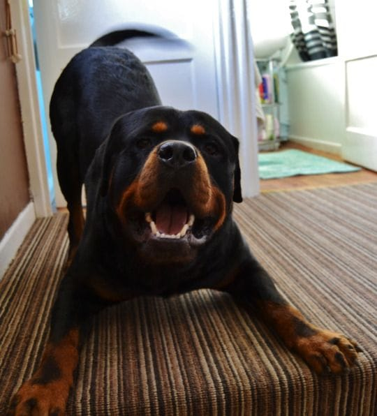 Most Playful Dogs Breeds