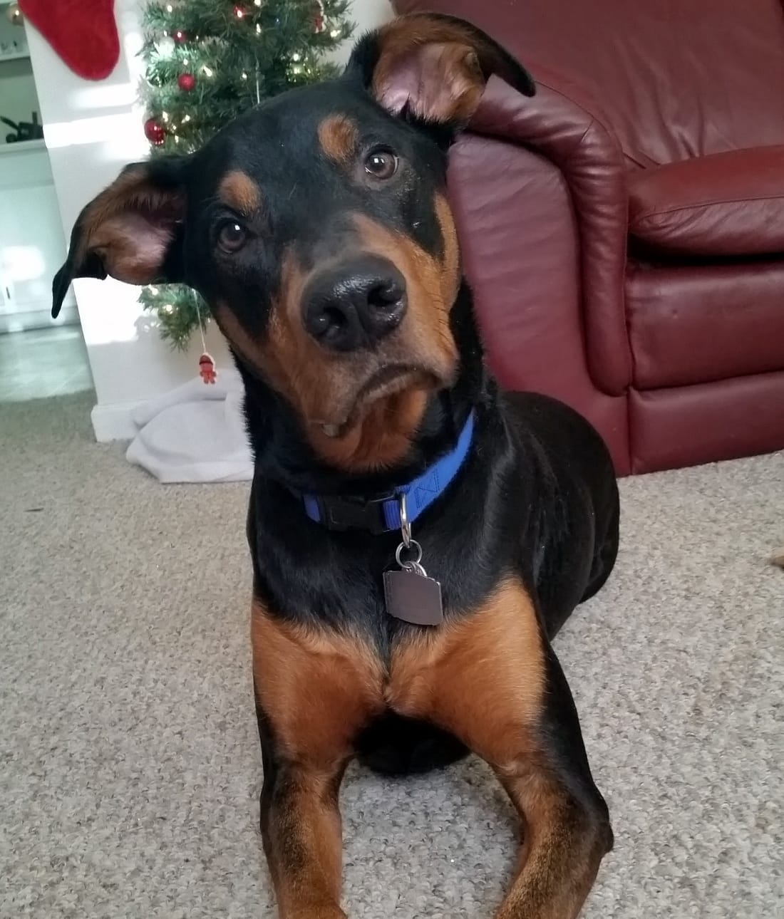 10 Awesome Doberman Mixes You Need To Feast Your Eyes On