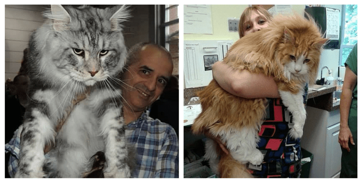 biggest house cat in the world 2016 meet the 15 biggest domestic cats on earth