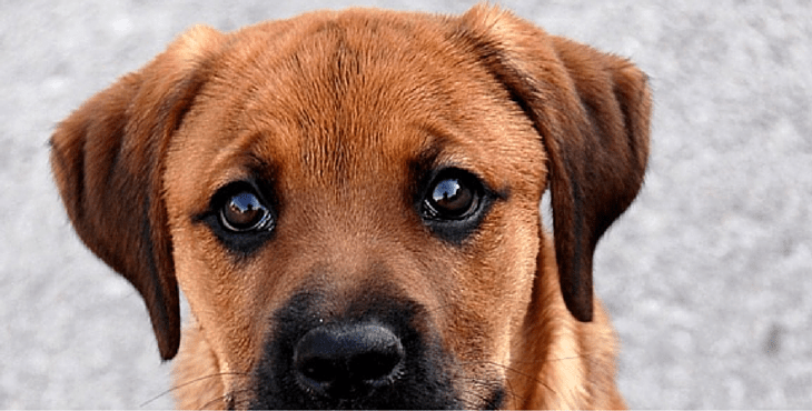 10 Unreal Boxer Cross Breeds You Have To See To Believe