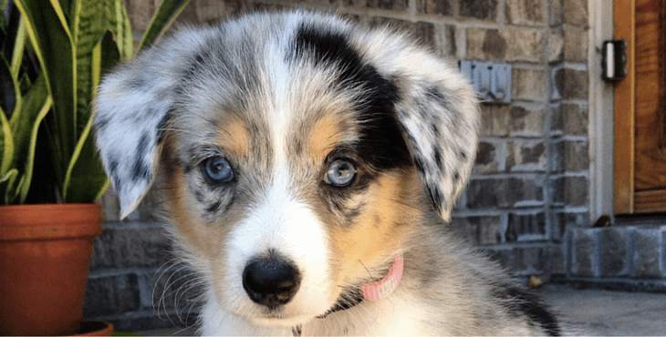 19 Gorgeous Corgi Mixes That Are Almost Too Cute To Be Real