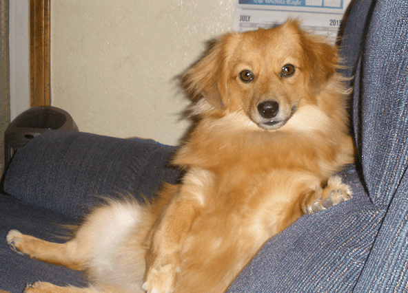 pomeranian lab mix 15 awesome dachshund mixes you won t believe are real 2449