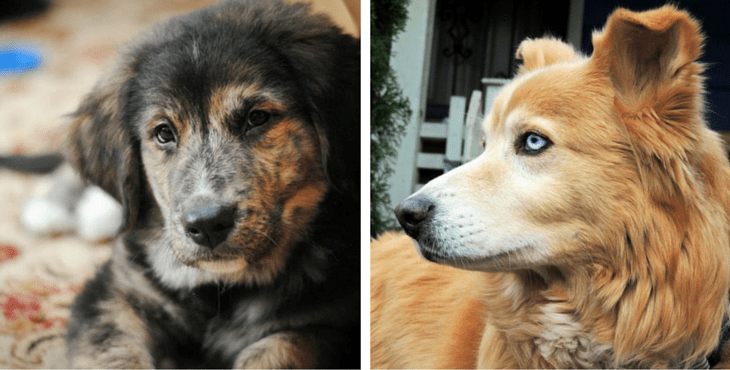 13 Gorgeous Golden Retriever Mixes You Just Have To See f77e798adfc