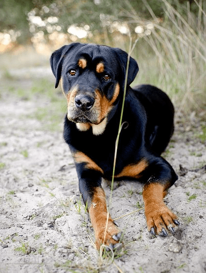 11 Crazily Cute Rottweiler Mixes You Have To Check Out Now