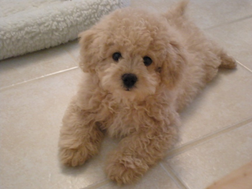 Spitz Poodle Mix Goldenacresdogs