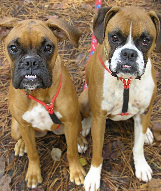 Girl Boxers Dogs For Sale