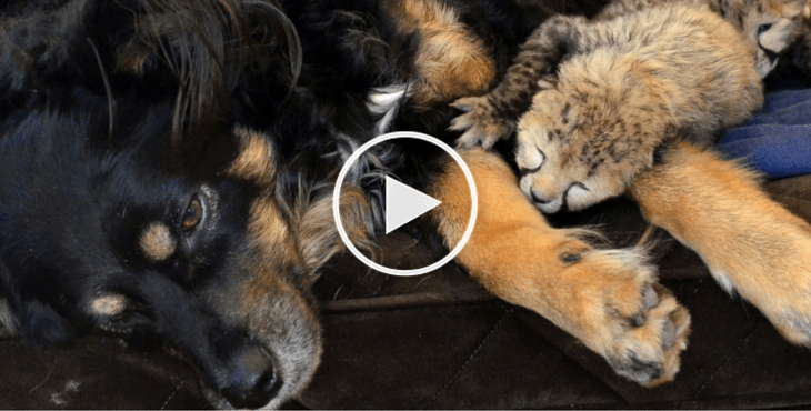 Meet Blakely The Australian Shepherd Who Has Adopted Five