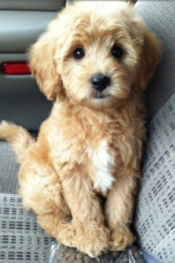 16 Outrageously Adorable Poodle Mixes You Need To See