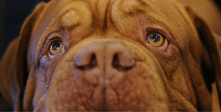 14 Reasons Why A Dogue De Bordeaux Is The Best Companion For You