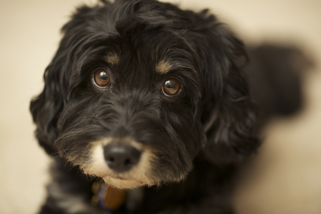 Pictures Of Black Cockapoo Dogs