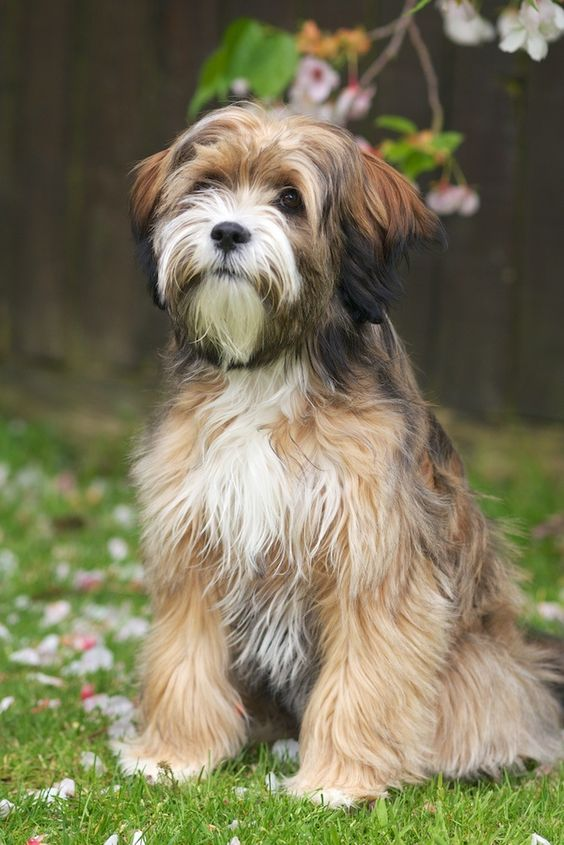 himalayan terrier 11 unusual and unique dog breeds from china 2822