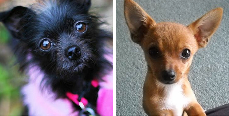 14 Ridiculously Cute Chihuahua Mixes You Have To See To Believe