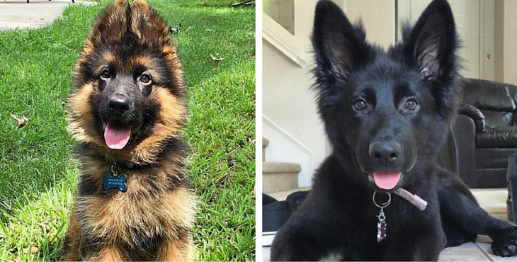 28 Of The Most Adorable German Shepherd Pups You Ll Ever See