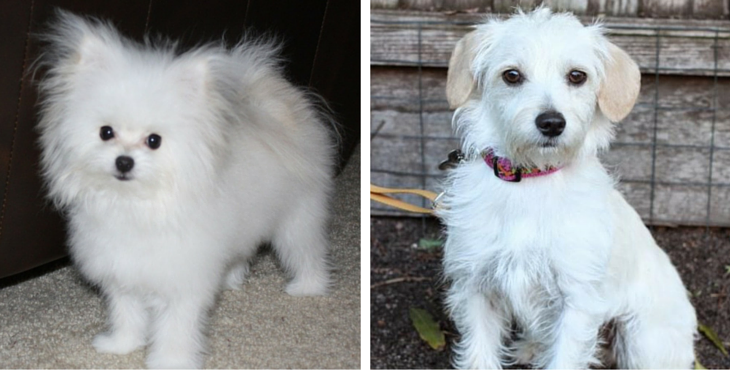 13 gorgeous maltese mixes and their ludicrous names