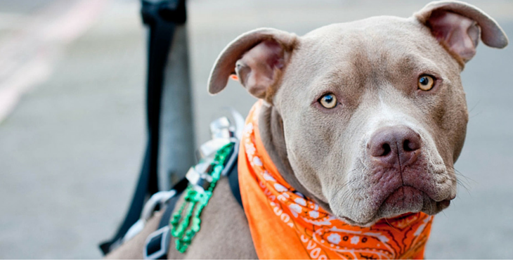 How did pit bulls get such a bad rap?