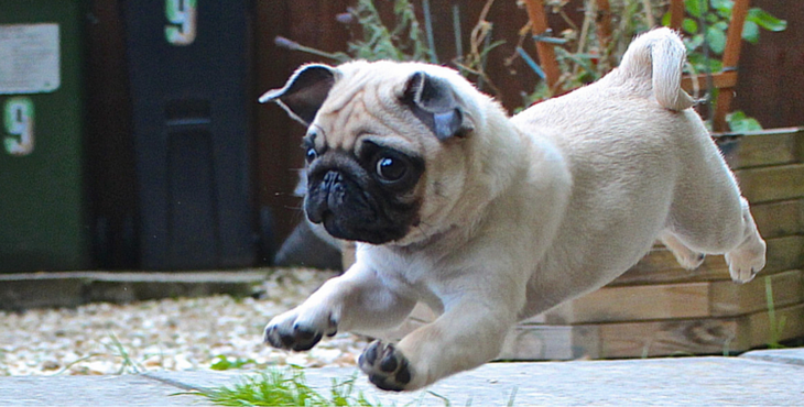 11 Reasons Why You Should Never Ever Adopt A Pug