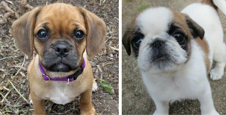 10 Of The Most Peculiar But Absolutely Gorgeous Pug Mixes
