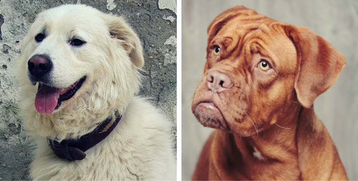 17 Of The Biggest And Most Beautiful Mastiff Breeds In The World