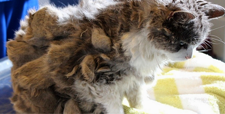 Lonely Cat Who Couldn T Even Walk Under All That Matted Fur Now Looks Absolutely Regal