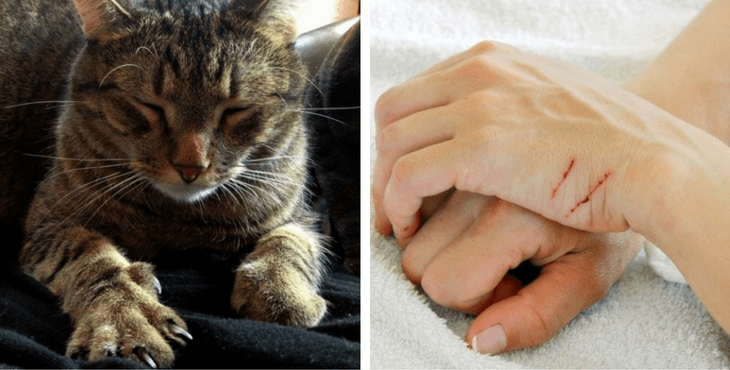 bacterial staph infection in cats