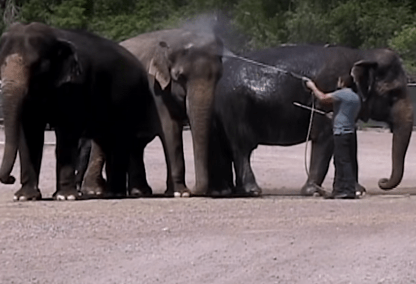 Final trumpet sounds for a US institution as elephants say goodbye to the circus
