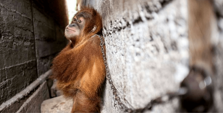 This Orangutan Was Shackled Between Buildings And Forced To